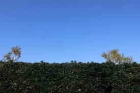 two trees slightly above a hedge